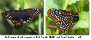 BaltimoreCheckerspots